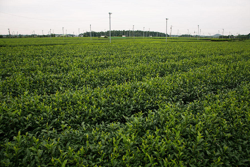 鈴鹿市の茶畑 三重県