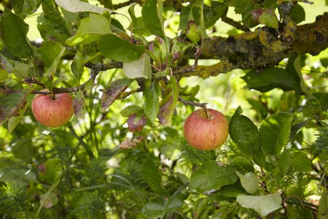 菜園だけでなく、邸宅まわりのあちらこちらに垣根としてリンゴの木が植えられていた。